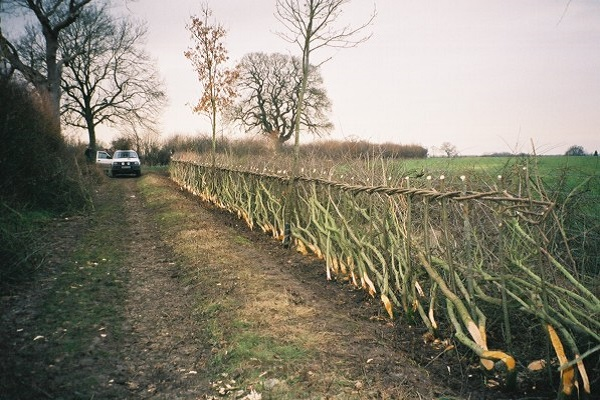Image showing hedge laying