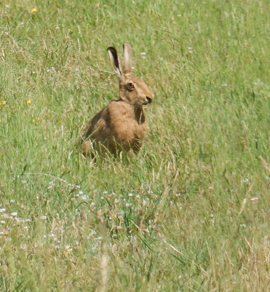 Photo of Brown Hare seen near Dean Farm